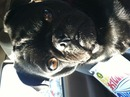 Thumbnail photo of a pug named 'Suki loves record stores' - PugRodeo.com