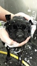 Thumbnail photo of a pug named 'Washing the Gorilla' - PugRodeo.com