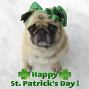 Thumbnail photo of a pug named 'Pug St. Patrick's Day Diva!' - PugRodeo.com