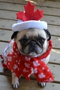 Thumbnail photo of a pug named 'Canada Day Pug' - PugRodeo.com