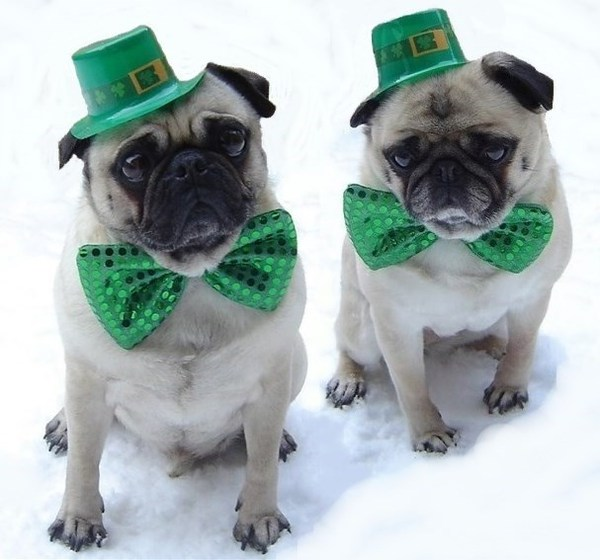 Pug named 'St. Patrick's Day Pugs' - PugRodeo.com