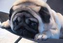 Thumbnail photo of a pug named 'Smooshed' - PugRodeo.com