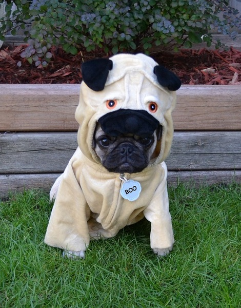 Pug named 'A Pug In A Pug' - PugRodeo.com
