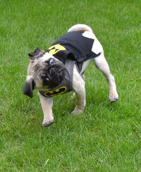 Pug named 'Our Pug Boo As Batman' - PugRodeo.com