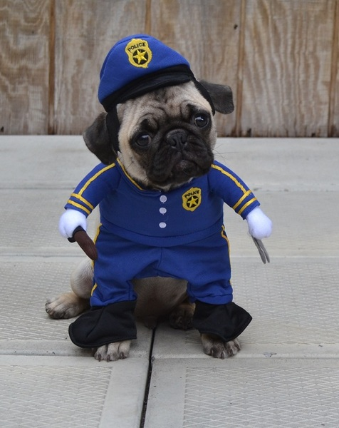Pug named 'Our Pug Boo The Policeman' - PugRodeo.com