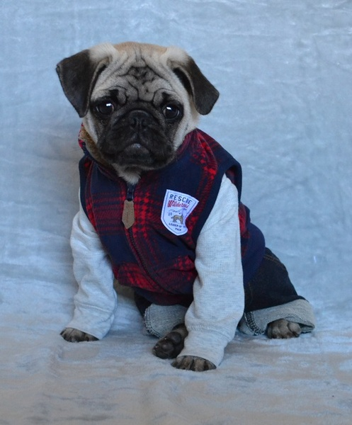Pug named 'Boo The Abercrombie Pug' - PugRodeo.com