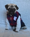 Thumbnail photo of a pug named 'Boo The Abercrombie Pug' - PugRodeo.com