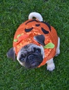 Thumbnail photo of a pug named 'Boo The Pug Pumpkin' - PugRodeo.com