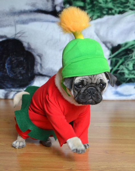 Pug named 'Boo The Pug As Marvin The Martian' - PugRodeo.com