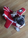 Thumbnail photo of a pug named 'Boo The Pug Plane' - PugRodeo.com