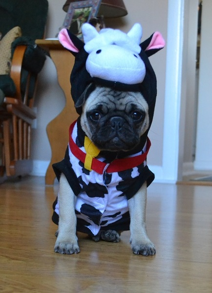 Pug named 'Boo The Pug Cow' - PugRodeo.com