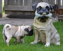 Thumbnail photo of a pug named 'Boo The Pug Puppy' - PugRodeo.com
