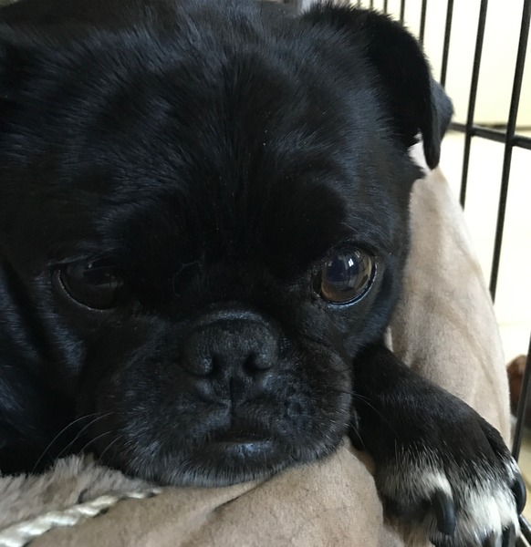 Pug named 'Compton contemplation' - PugRodeo.com