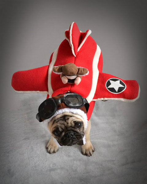 Pug named 'Boo The Pug Plane' - PugRodeo.com
