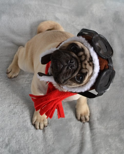 Pug named 'Boo The Aviator' - PugRodeo.com