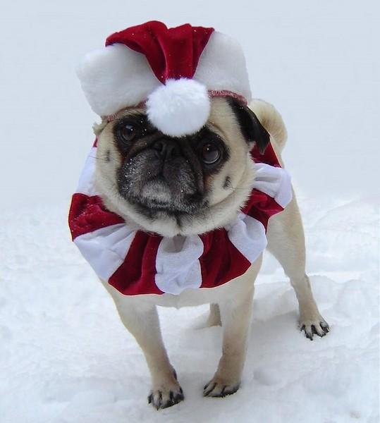 Pug named 'Bailey Puggins The Pug Christmas Santa' - PugRodeo.com
