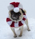 Thumbnail photo of a pug named 'Bailey Puggins The Pug Christmas Santa' - PugRodeo.com