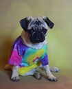Thumbnail photo of a pug named 'Peace Pug Puppy' - PugRodeo.com