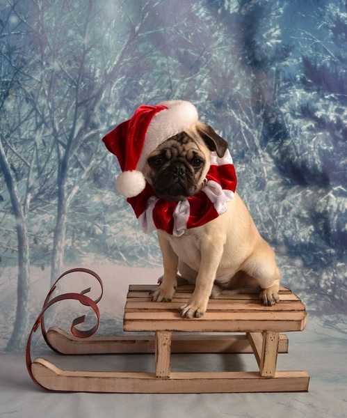 Pug named 'Pug Santa' - PugRodeo.com