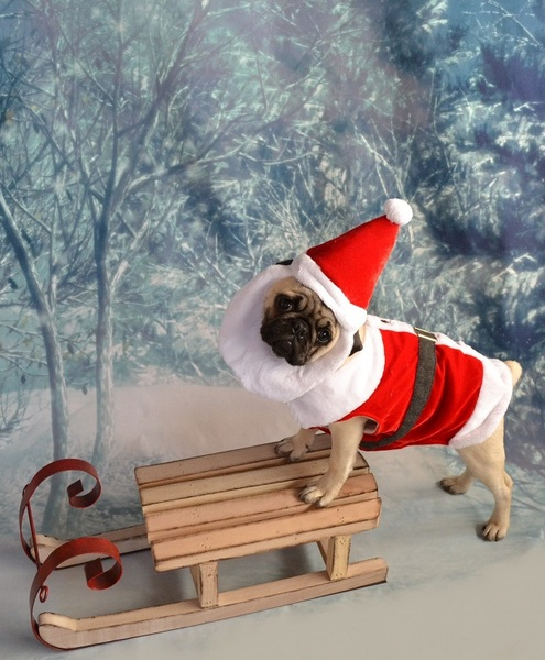 Pug named 'Christmas Santa Pug Puppy' - PugRodeo.com