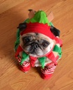 Thumbnail photo of a pug named 'Compact Pug Elf' - PugRodeo.com
