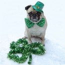 Thumbnail photo of a pug named 'Cute Pug St. Patrick Day' - PugRodeo.com