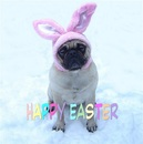 Thumbnail photo of a pug named 'Funny Sad Pug Easter Bunny' - PugRodeo.com