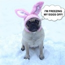 Thumbnail photo of a pug named 'Funny Pug Bunny Dog Meme' - PugRodeo.com