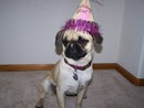 Thumbnail photo of a pug named 'Millie' - PugRodeo.com